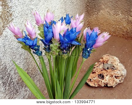 Blooming Pink and Blue Curcuma and Stone Skull in Or Yehuda Israel