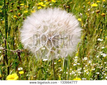Dandelion and wild flowers near Or Yehuda Israel