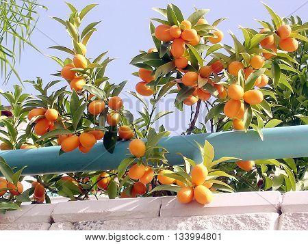 Lemons growing on Citrus plant in Or Yehuda Israel