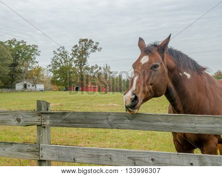 horse sticking out tongue in pasture at the fence