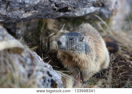 Marmot hidden in his den under a rock in mountain landscape hiding in safety from predators. Wildlife protected natural park area concept.