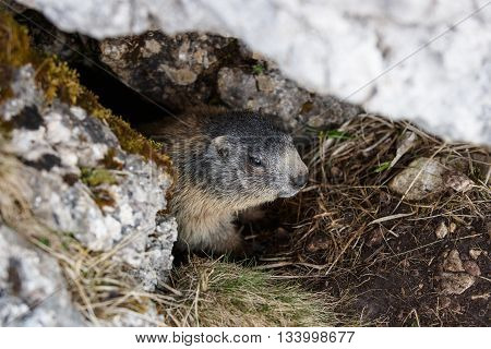Marmot hiding in his den under a rock in mountain landscape hiding in safety from predators. Wildlife protected natural park area concept.