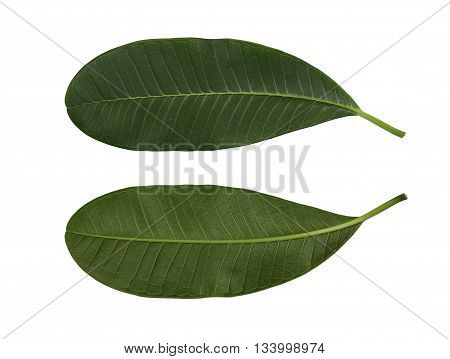 green oval shape leaf isolated on white background