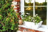 stock photo of white flower  - window reflects early morning scene of barn in distance. ledge has white planter with white flowers. brick has ivy growing on it.