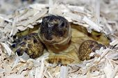 foto of russian tortoise  - a pet russian tortoise emerging from its sleeping burrow in a dried hemp substrate in a vivarium - JPG