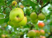 picture of apple orchard  - apples on an apple tree in an orchard - JPG