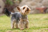 Cute Small Playful Yorkshire Terrier poster