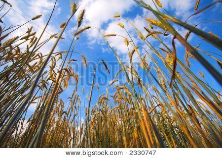 Wheat Wide Angle