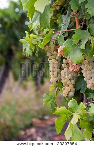 Chardonnay grapes in Hungary