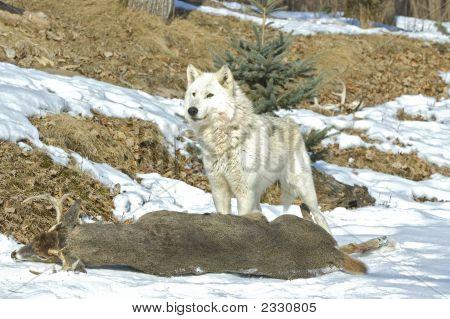 Gray Wolf On Deer Carcass