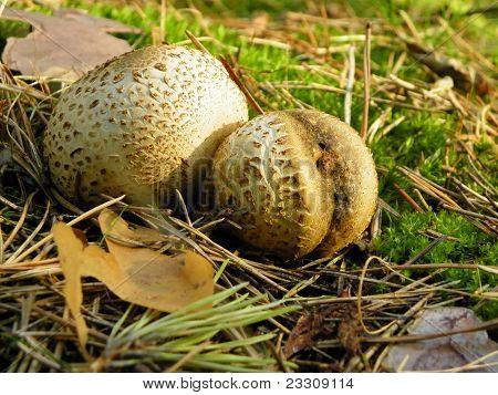 Fuzz-ball, polish mushroom