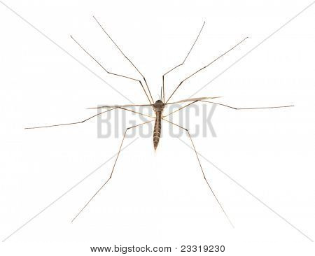 Mosquito - dangerous vehicle of infection - isolated on white background.