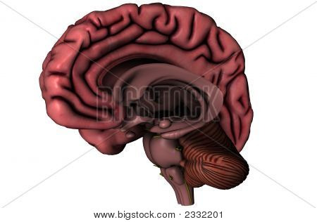 Human Sagittal Brain On White Background