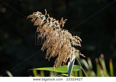 Blossoming reed