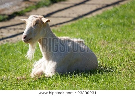 White Billy Goat In Grass