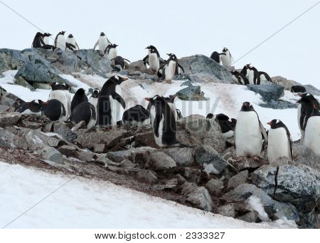 Penguins In The Rocks