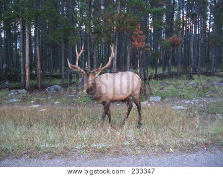 02 Bull Elk  Jasper National Park Alberta Canada