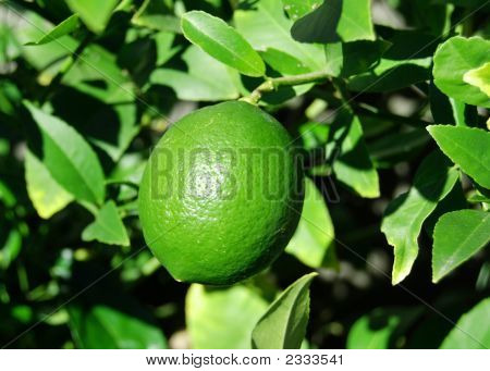 Growing Lime