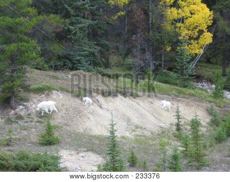Mountain Goat Family - Jasper National Park, Alberta, Canada