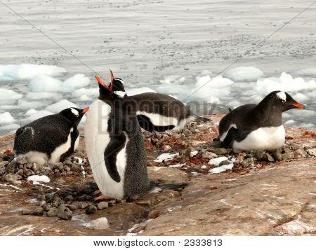Gentoo Penguins, Singing And Nesting