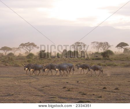 Wildebeests In Amoseli National Park