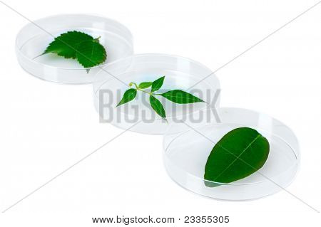 Genetically modified plants tested in petri dishes isolated on white