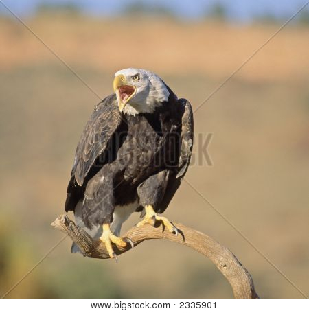 Bald Eagle Vocalizing