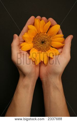 Hands Holding Sunflower