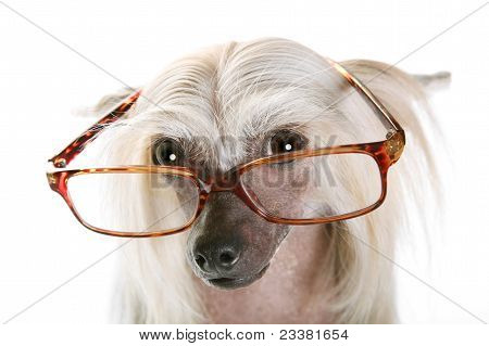 Chinese crested dog in glasses staring at you