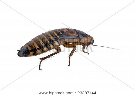 Ugly Dead Roach Isolated Over White