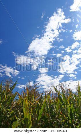 Ripe Corn Field Under Blue Sky