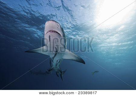 Underview Of Lemon Shark