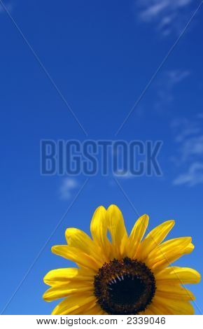 Sunflowers Under Beautiful Blue Sky