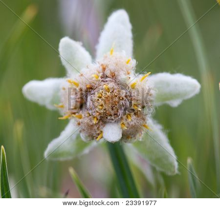 Edelweiss flower close-up