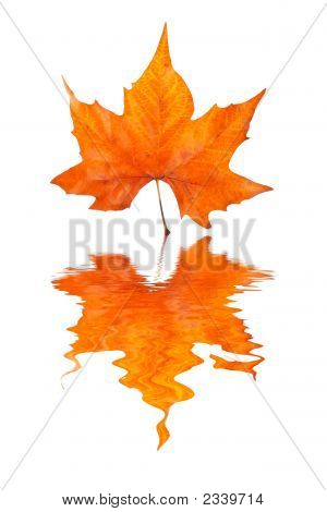 Maple Leaf Reflected