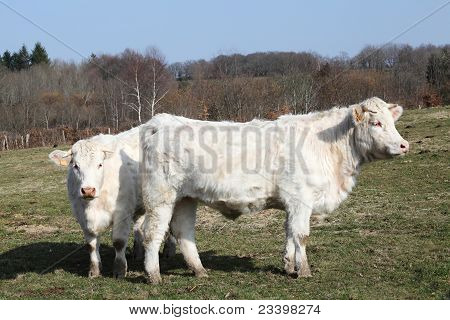Charolais Cattle In Thick Winter Coats