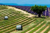 Plateau de valensole - fields of lavender