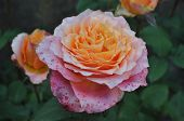 Pink And Orange Rose In The Garden. Beautiful Bright Pink Rose In The Winter Garden. Pink Rose With  poster