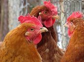 Chickens On The Poultry Farm. Domestic Hen poster