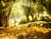 stock photo of grease  - Olive Trees - JPG