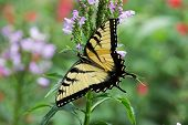Male Eastern Tiger Swallowtail Butterfly On Flowers.  They Are Strong Fliers, Soaring High In Trees, poster