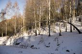 Birches In Sunny Winter Day At Alpine Skiing Resort Chimbulak In Tien Shan poster