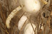 picture of silk worm  - earing of silkworms for the production of yarn - JPG