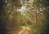 Dirt Track Through Angophora And Eucalyptus Forest, Royal National Park, Sydney, Nsw, Australia poster