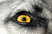 stock photo of seeing eye dog  - A macro photo of a yellow dogs eye - JPG