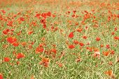 Постер, плакат: Flowers Red Poppies Blossom On Wild Field Beautiful Field Red Poppies With Selective Focus Soft Li