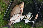 Big Freshwater Common Bream And White Bream Or Silver Bream Fish With Fishing Rod With Reel On Natur poster