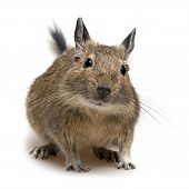 picture of gopher  - degu pet close up isolated on white - JPG