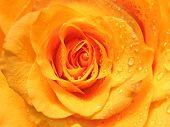 pic of yellow rose  - close - JPG