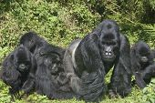 picture of gorilla  - Group of gorillas eating in the forest - JPG